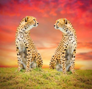 The Cheetah (Acinonyx jubatus) couple.